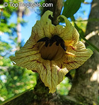 Crescentia cujete, Calabash Tree, Krabasi, Kalebas, Huingo  Click to see full-size image