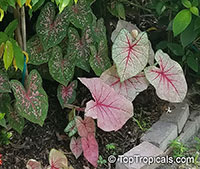 Caladium bicolor, Caladium, Fancy Leaved Caladium  Click to see full-size image