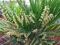 Phyllanthus angustifolius, Foliage Flower  Click to see full-size image