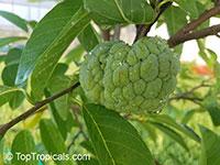 Annona squamosa, Sugar Apple, Custard Apple, Sweetsop-Anon, Sweetsop, Atis, Sitafal, Seetha Payam, Araticum, Sharifa  Click to see full-size image