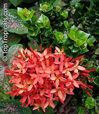 Ixora Siam Ribbon (Hindu Rope)  Click to see full-size image