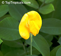 Arachis glabrata, Golden Glory, Ornamental Peanut Grass  Click to see full-size image