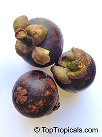 Garcinia mangostana, Mangosteen  Click to see full-size image