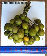 Melicoccus bijugatus, Melicocca bijuga, Spanish Lime, Genip, Mamoncillo, Quenepa, Limoncillo  Click to see full-size image