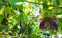 Passiflora sp., Passion Flower  Click to see full-size image