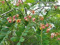 Cassia marginata, Red Shower Tree, Red or Rose Cassia, Rainbow Tree  Click to see full-size image