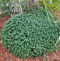 Callisia repens, Bolivian Jew, Turtle Vine, Inch plant  Click to see full-size image