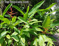 Heliconia latispatha, Expanded Lobsterclaw  Click to see full-size image