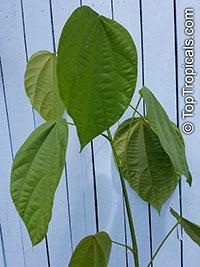 Theobroma bicolor, White cacao, Macambo, Motelo  Click to see full-size image