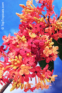 Saraca declinata, Red Saraca  Click to see full-size image