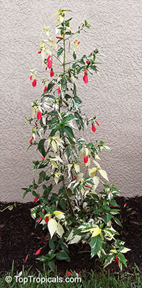 Malvaviscus arboreus penduliflorus, Sleepy Hibiscus, Mexican Turk's Cap  Click to see full-size image