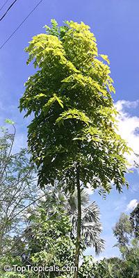 Acrocarpus fraxinifolius, Pink Cedar, Balangi, Kurungatti  Click to see full-size image