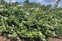 Jasminum multiflorum, Jasminum pubescens, Jasminum gracillimum, Jasminum bifarium, Jasminum elongatum, Downy Jasmine, Angel Hair Jasmine, Star Jasmine  Click to see full-size image