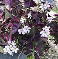 Oxalis triangularis, Oxalis regnellii, Purple Shamrock, Love Plant   Click to see full-size image