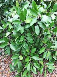 Ardisia elliptica, Shoebutton Ardisia  Click to see full-size image