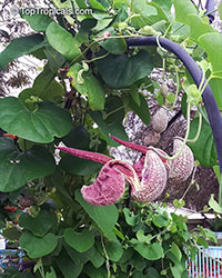 Aristolochia labiata, Aristolochia brasiliensis, Mottled Dutchman's Pipe, Roster Flower  Click to see full-size image