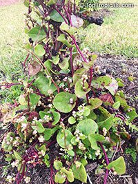 Basella alba, Ceylon Spinach, Malabar Spinach  Click to see full-size image