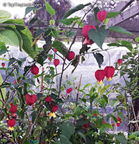 Abutilon megapotamicum, Abutilon vexillarium, Flowering Maple, Trailing Abutilon, Brazilian Bell-flower  Click to see full-size image