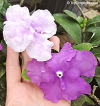 Brunfelsia magnifica Floribunda, Morning, Noon and Night  Click to see full-size image