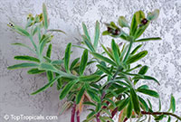Euphorbia sp., Milkweed, Spurge  Click to see full-size image