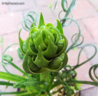 Albuca spiralis , Frizzle Sizzle, Corkscrew Albuca  Click to see full-size image