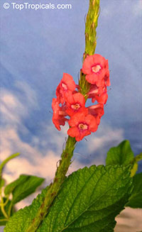 Stachytarpheta sanguinea, False Vervain, Snake-weed  Click to see full-size image