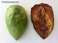 Diospyros nigra, Diospyros digyna, Diospyros obtusifolia, Black Sapote, Chocolate Pudding Fruit, Black/Chocolate Persimmon  Click to see full-size image