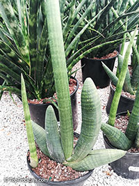 Sansevieria cylindrica, Sansevieria stuckyi, Snake Plant  Click to see full-size image