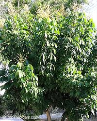 Dimocarpus longan, Euphoria longana, Nephelium longana, Longan, Dragon's Eye  Click to see full-size image