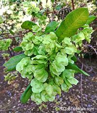Dodonaea viscosa, Hopseed bush  Click to see full-size image