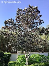 Magnolia sp., Magnolia hybrid  Click to see full-size image