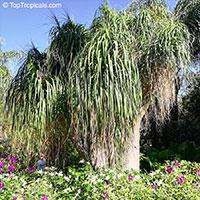 Beaucarnea recurvata, Nolina recurvata, Ponytail Palm, Pony Tail, Bottle Palm, Nolina, Elephant-foot Tree  Click to see full-size image