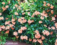 Crossandra infundibuliformis, Crossandra undulifolia Orange, Tropic Flame  Click to see full-size image