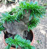 Pachypodium sp., Pachypodium  Click to see full-size image
