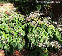 Begonia nelumbiifolia , Lily-pad Begonia  Click to see full-size image