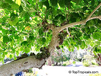 Ficus auriculata, Ficus roxburghii, Elephant ear fig tree, Giant Indian Fig  Click to see full-size image