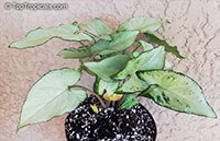 Syngonium podophyllum, Arrowhead vine, Nephthytis, African evergreen  Click to see full-size image