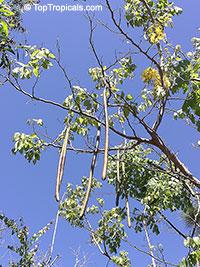 Cassia fistula, Golden Shower Tree, Indian Laburnum, Ratchaphruek  Click to see full-size image