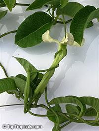 Echites umbellatus, Devil's Potato  Click to see full-size image