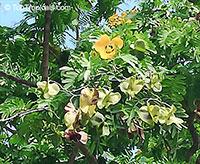 Bulnesia arborea, Vera, Verawood, Vera Wood, Maracaibo Lignum Vitae  Click to see full-size image
