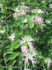 Bauhinia divaricata, Butterfly Orchid Tree  Click to see full-size image