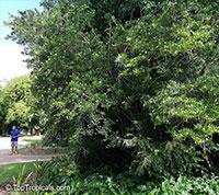 Brunfelsia densifolia, Serpentine Hill rain tree  Click to see full-size image