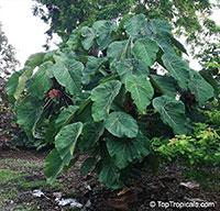 Macaranga grandifolia, Macaranga longifolia, Macaranga mappa, Macaranga, Nasturtium Tree, Parasol Leaf Tree, Bingabing, Sun Parasol Shrub, Elephant Ear Tree  Click to see full-size image