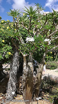 Pachypodium lamerei, Madagascar Palm  Click to see full-size image