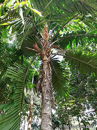 Aiphanes minima, Bactris minima, Macaw Palm  Click to see full-size image