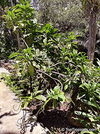 Tournefortia staminea, Tree Heliotrop  Click to see full-size image