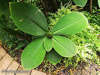Costus sp., Spiral Ginger  Click to see full-size image