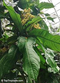 Ouratea theophrasta, Ouratea gigantophylla, Ouratea  Click to see full-size image