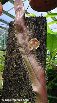 Strophocactus wittii, Selenicereus wittii, Amazon Moonflower  Click to see full-size image