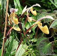 Paphiopedilum sp., Paphiopedilum Orchid, Slipper Orchid  Click to see full-size image